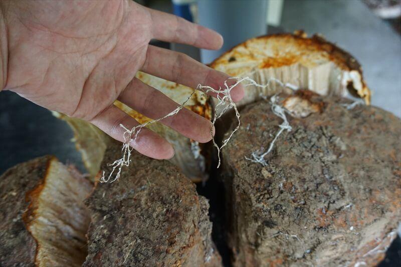舞茸の菌糸