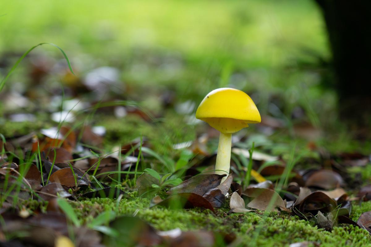 公園で出会った黄色いきのこ キイロタマゴタケ