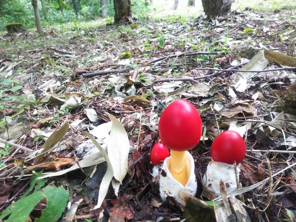 赤いタマゴの妖精 タマゴタケ