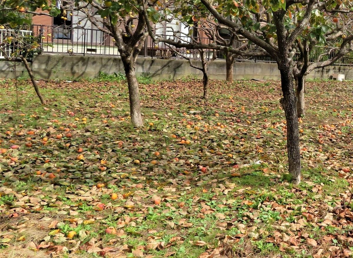 地面一杯に顔を出したキノコ 地上に落ちた柿の実