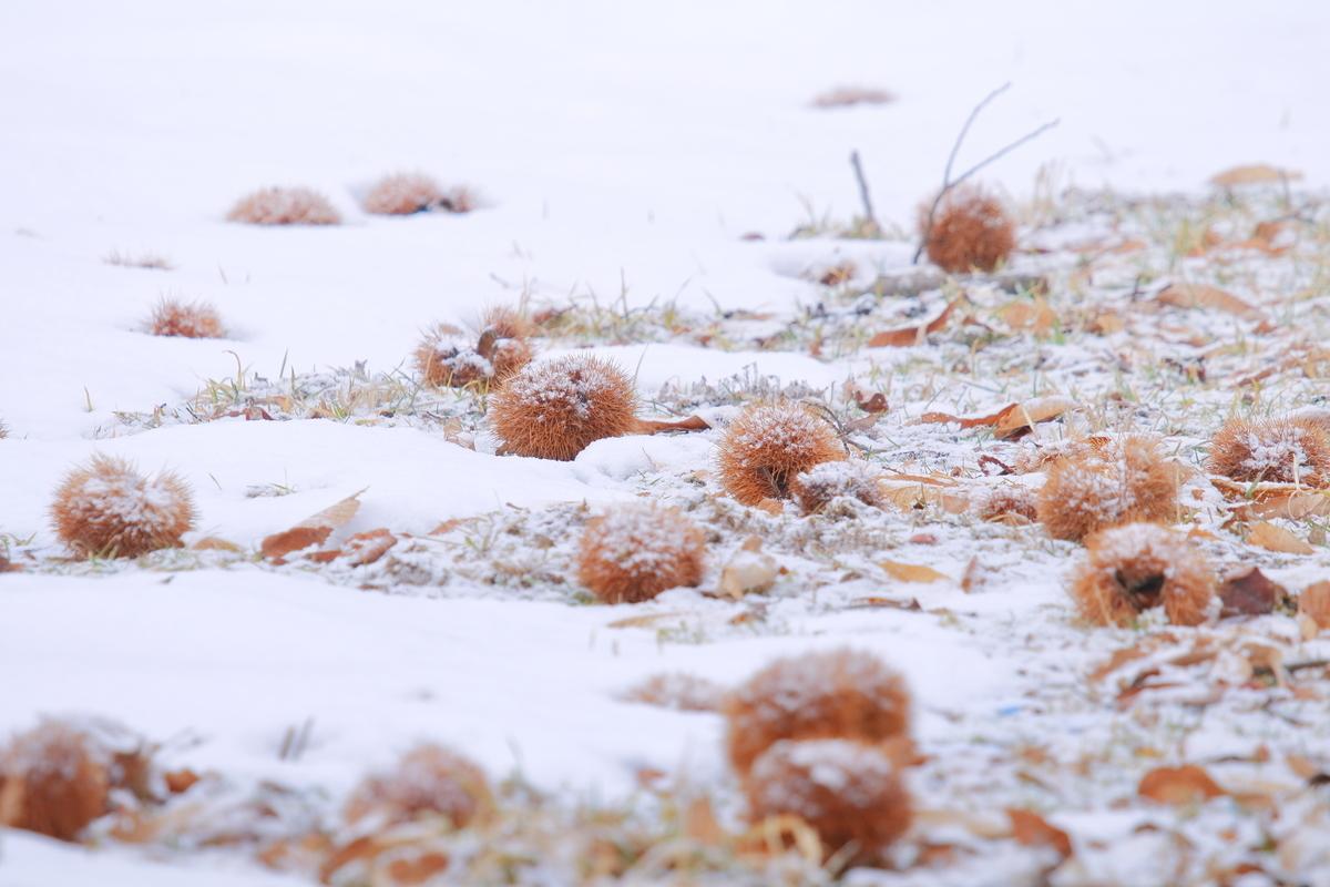 越冬キノコ 毬栗