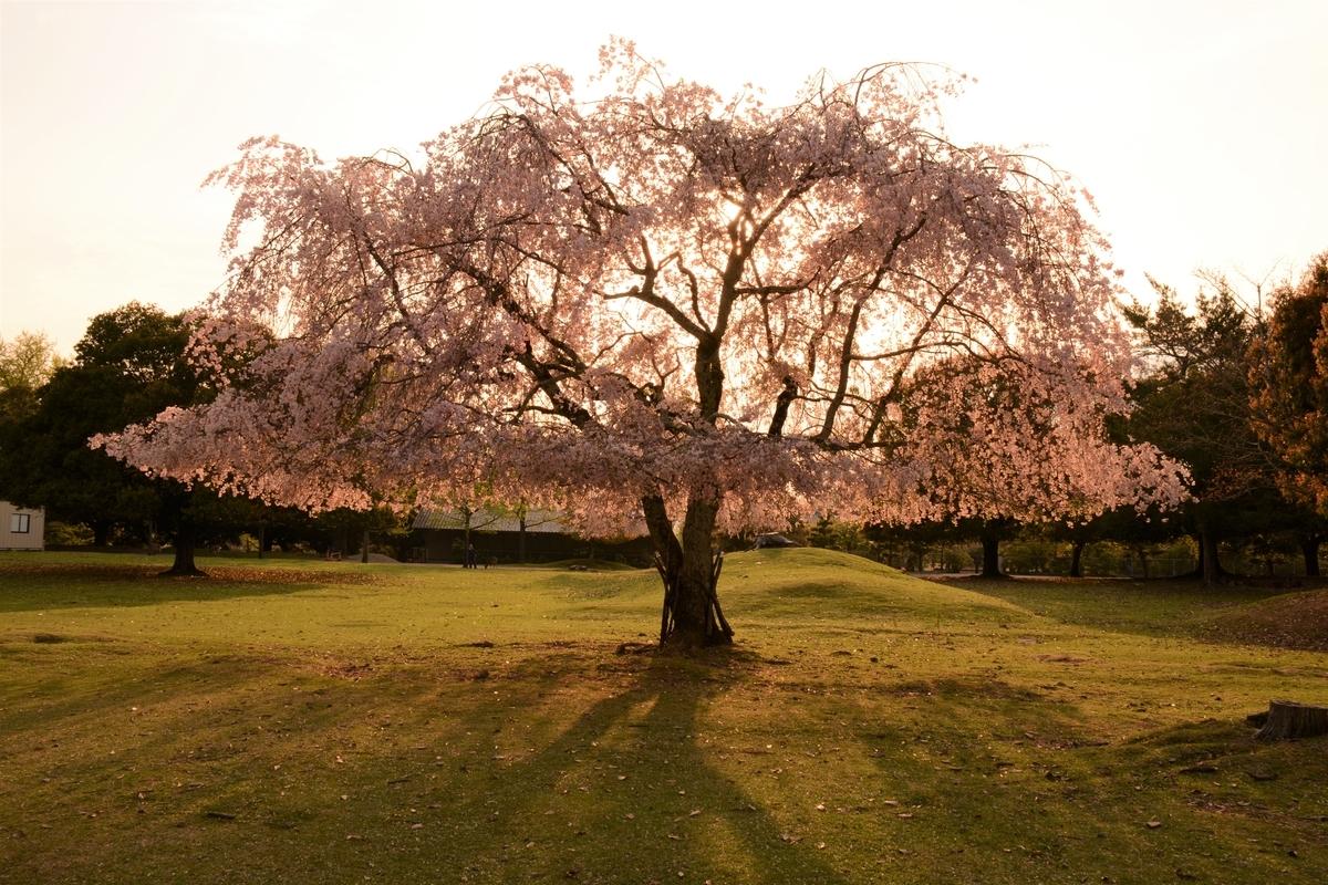 おかっぱ桜 奈良公園の桜