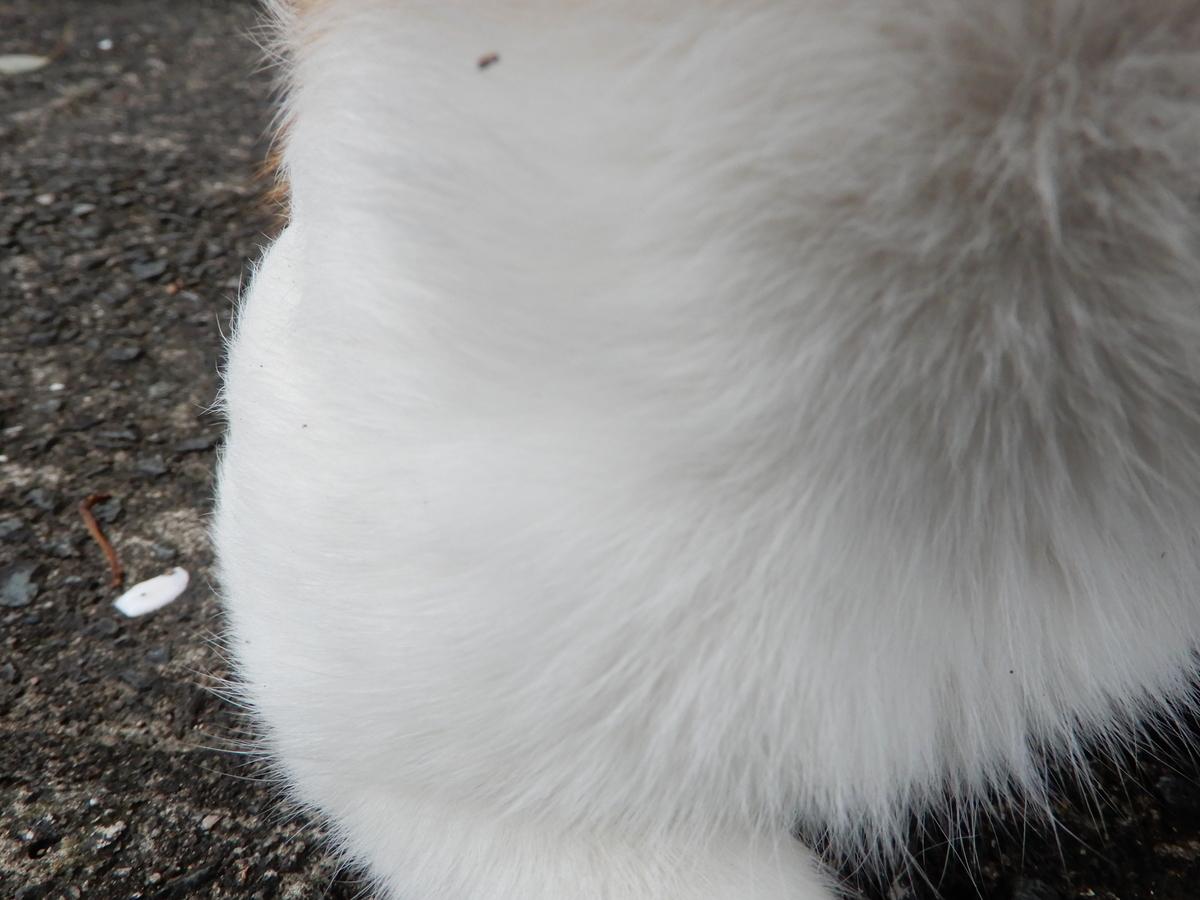 にゃーんと鳴くヤマブシタケ 近所のネコ