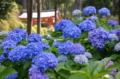 『京都新聞写真コンテスト ブルーのあじさい』