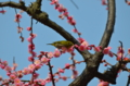 『京都新聞写真コンテスト 梅に鶯いやメジロ(城南宮)』