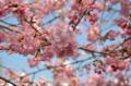 『京都新聞写真コンテスト もうすぐ 春ですね!!』