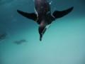葛西臨海水族館のペンギン