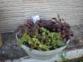 アメリカシロヒトリの発生で丸刈りにしたヒューゲラの寄せ植え