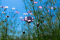 京都新聞写真コンテスト 夢コスモス園『早咲きの一輪』