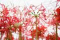 京都新聞写真コンテスト 穴太寺『曇天ににじむ彼岸花』