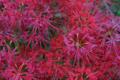 京都新聞写真コンテスト 穴太寺『鮮烈な紅』