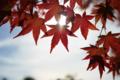 京都新聞写真コンテスト MIHOミュージアム『初紅葉2』