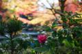 京都新聞写真コンテスト 長岡天満宮『花ひとつ』