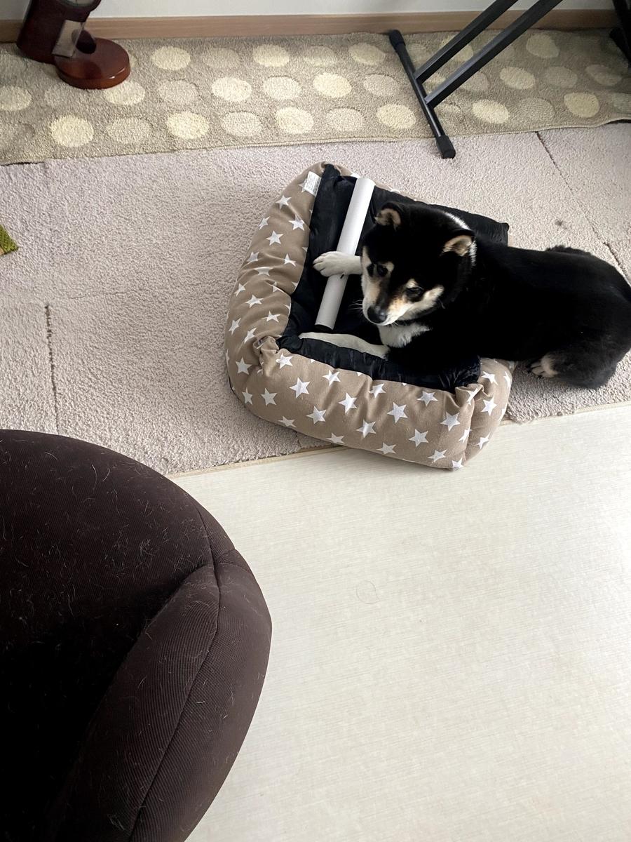 遊ぶ黒柴犬