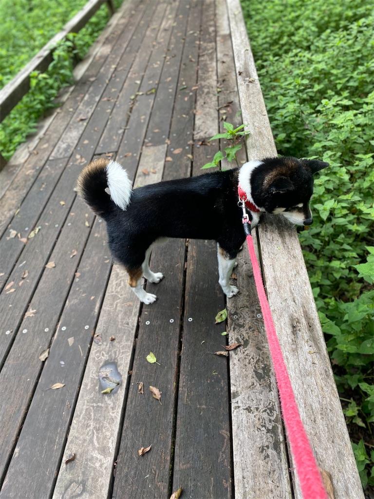 木の橋から下を覗いている黒柴犬