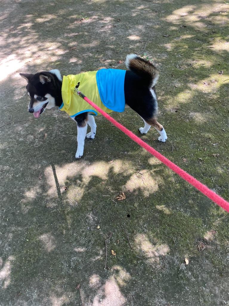 木陰で涼む黒柴犬