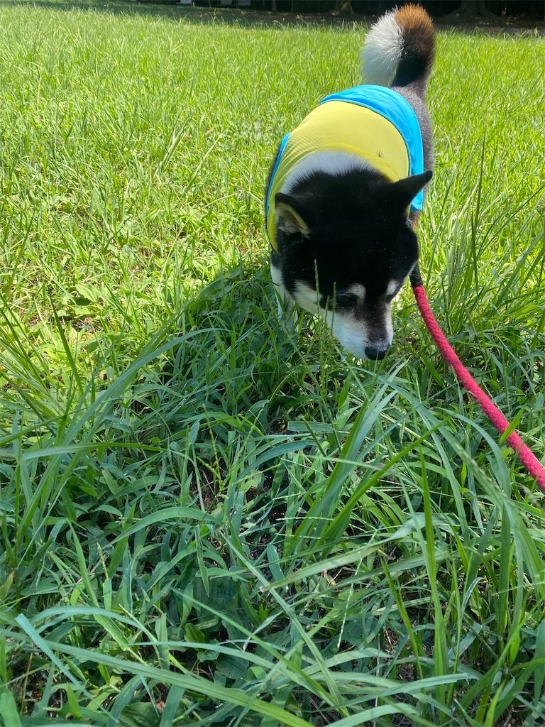 草むらの中の黒柴犬