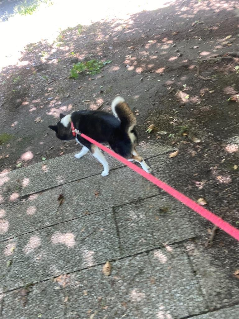 リードを引っ張る黒柴犬