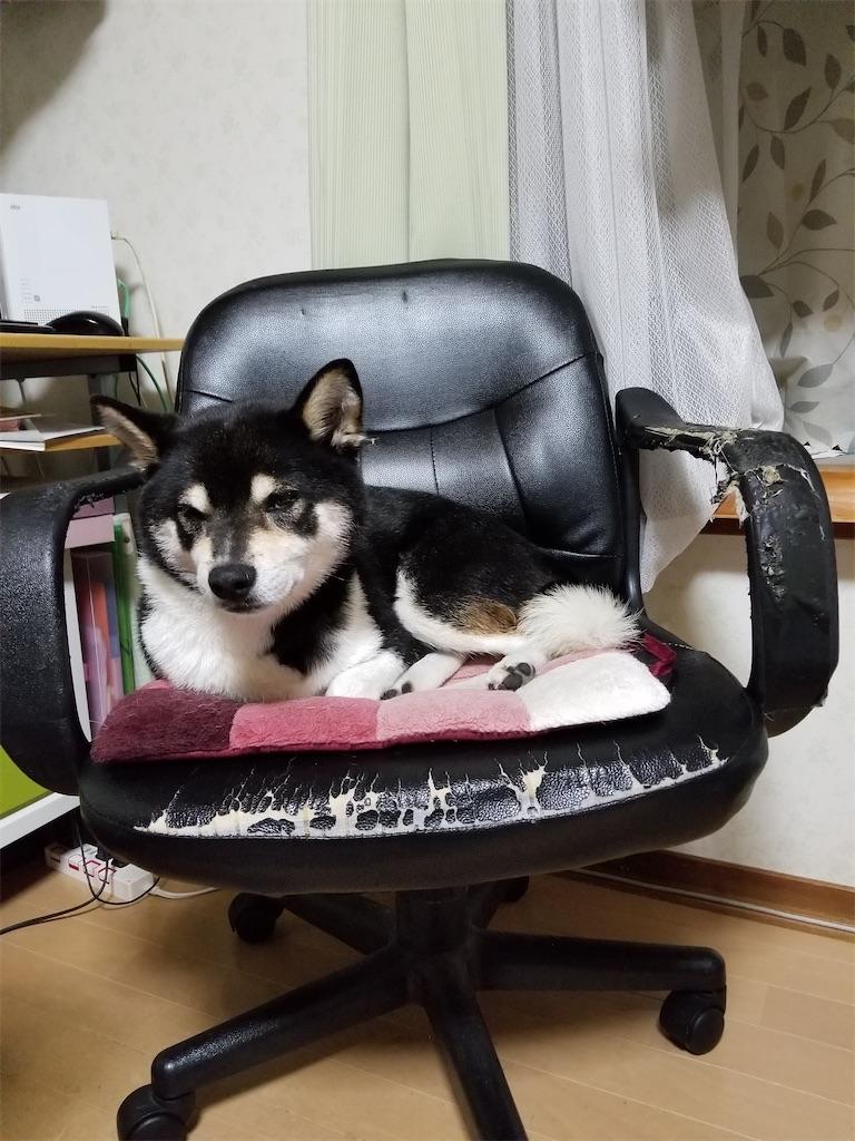 事務用のチェアで寝ている黒柴犬