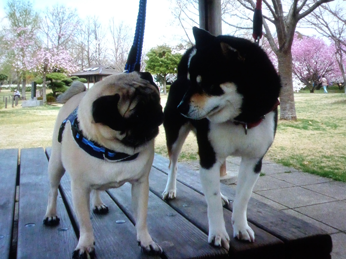 パグと黒柴犬が並んで立っている