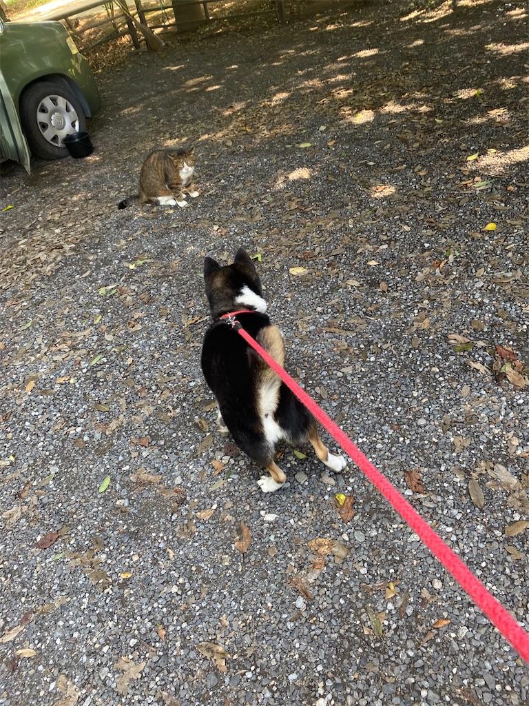 ネコちゃんにビビっている黒柴犬