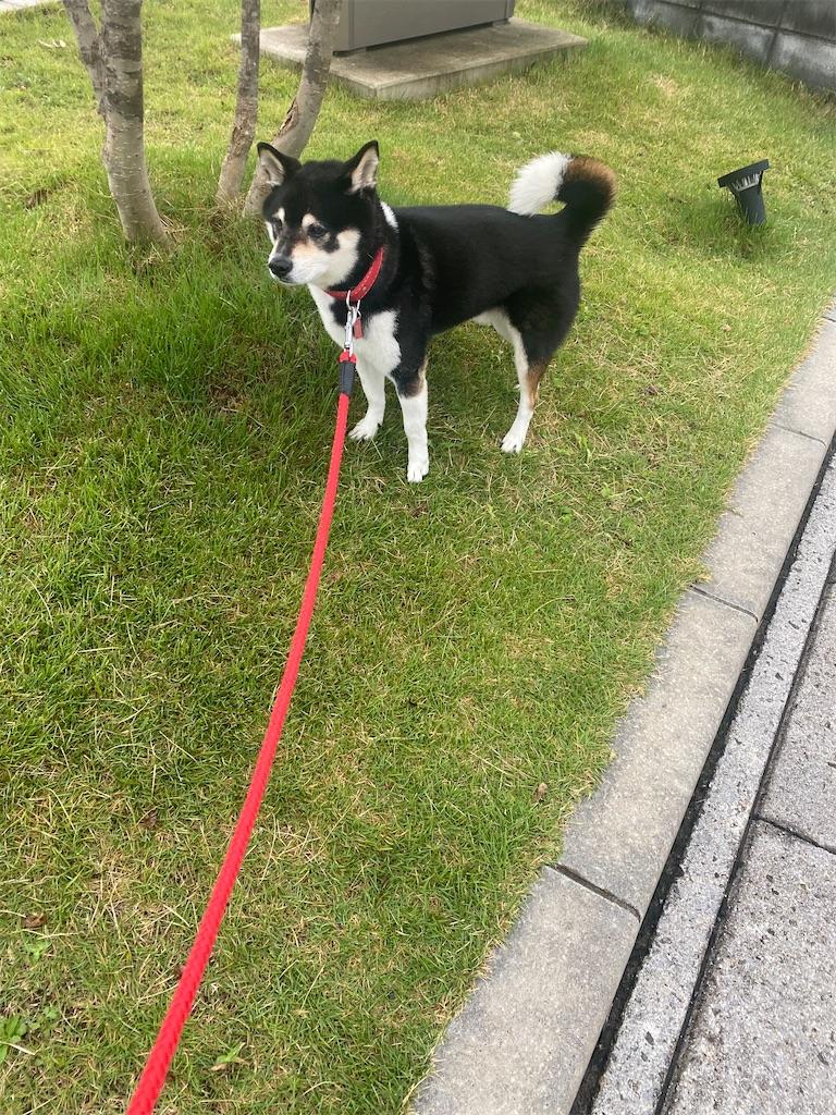 芝生の中の黒柴犬