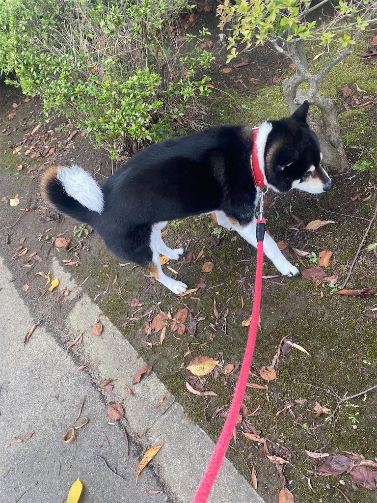 黒柴犬がお散歩してます。