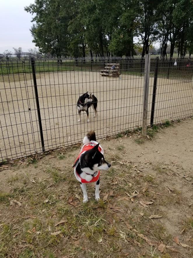 黒柴犬が二匹同じ方向に首を曲げています。