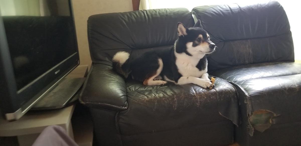 ソファーの上に座っている黒柴犬