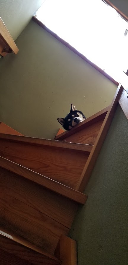 階段の上から見下ろしている黒柴犬
