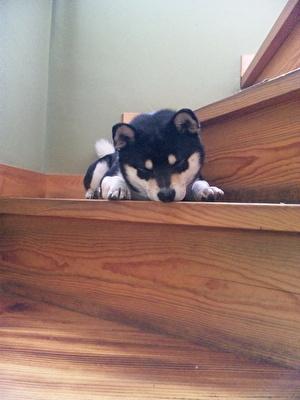 階段の上で眠っている黒柴犬の子犬