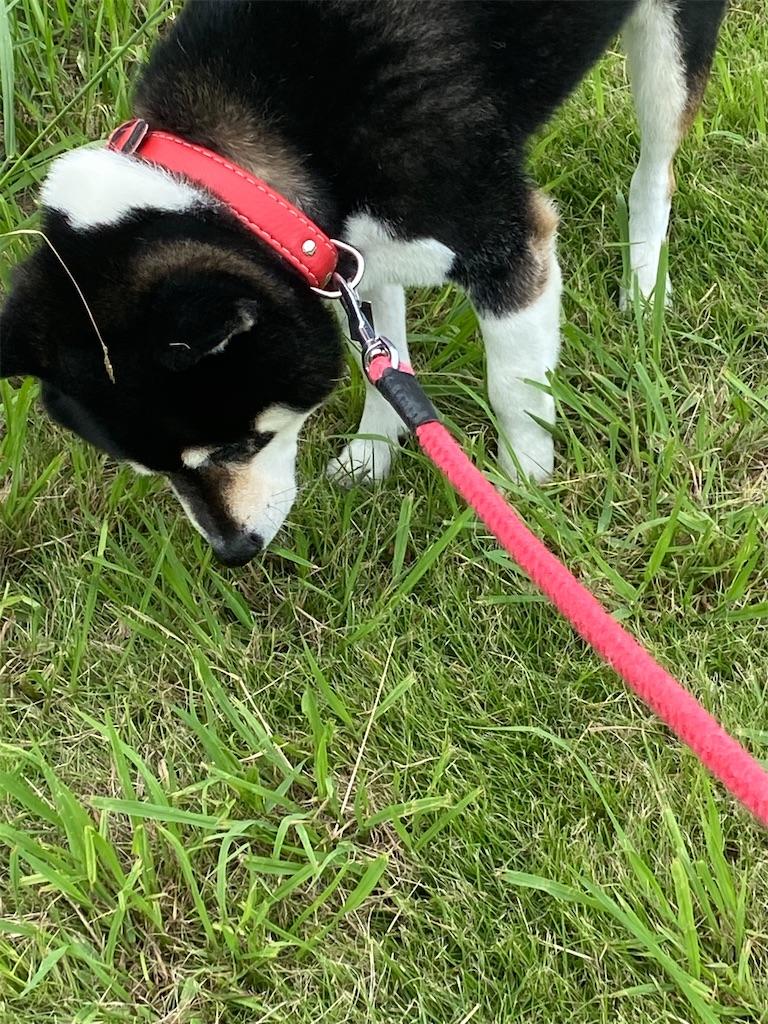 草の臭いを嗅ぐ黒柴犬
