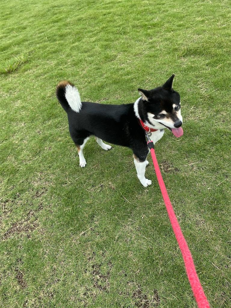 芝生の上でハアハアしている黒柴犬