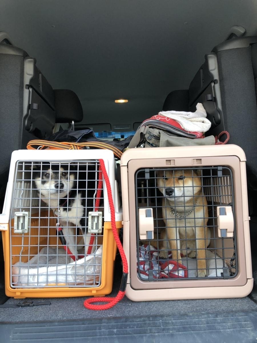 ケージに入っている黒柴犬と赤柴犬