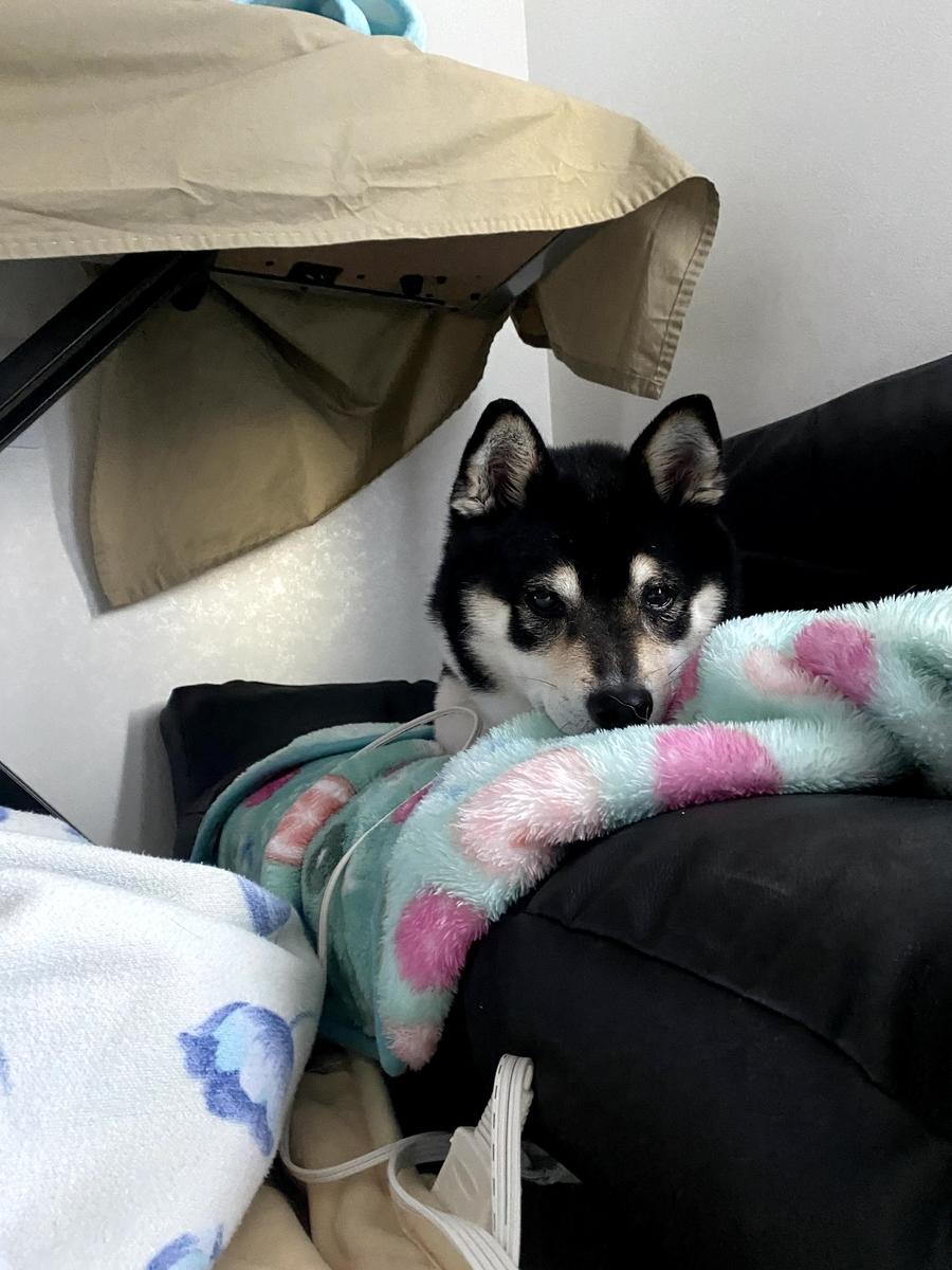 毛布の上にくつろいでいる黒柴犬