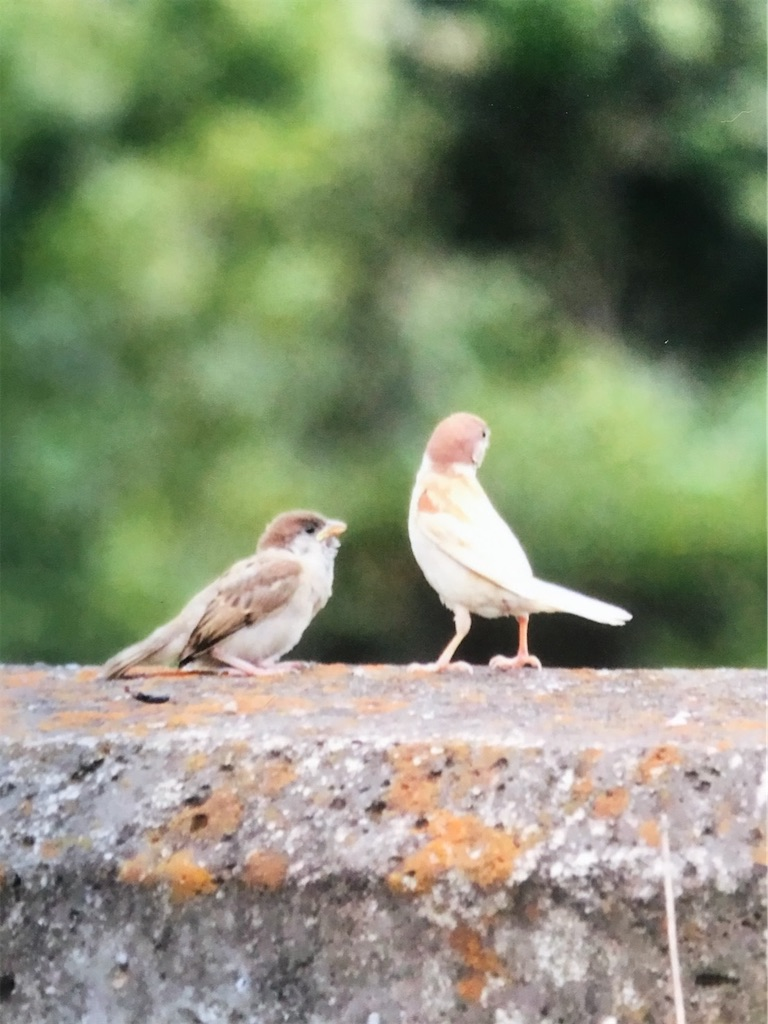 白い雀が2羽