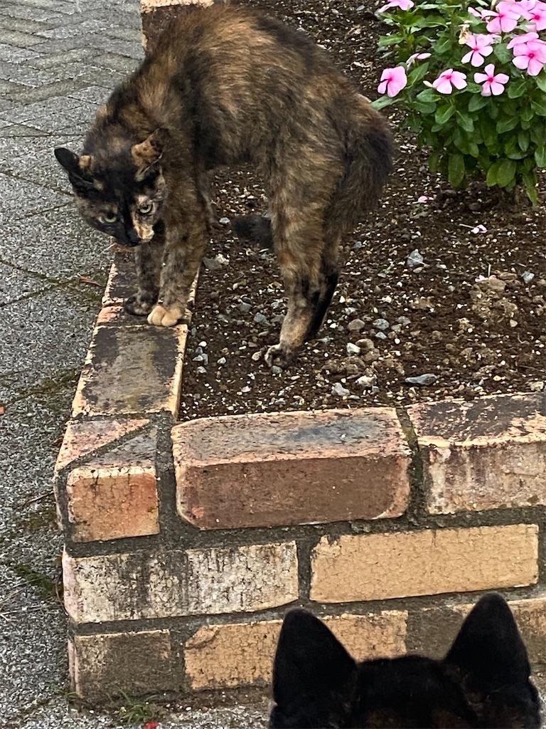 威嚇する黒っぽいネコ