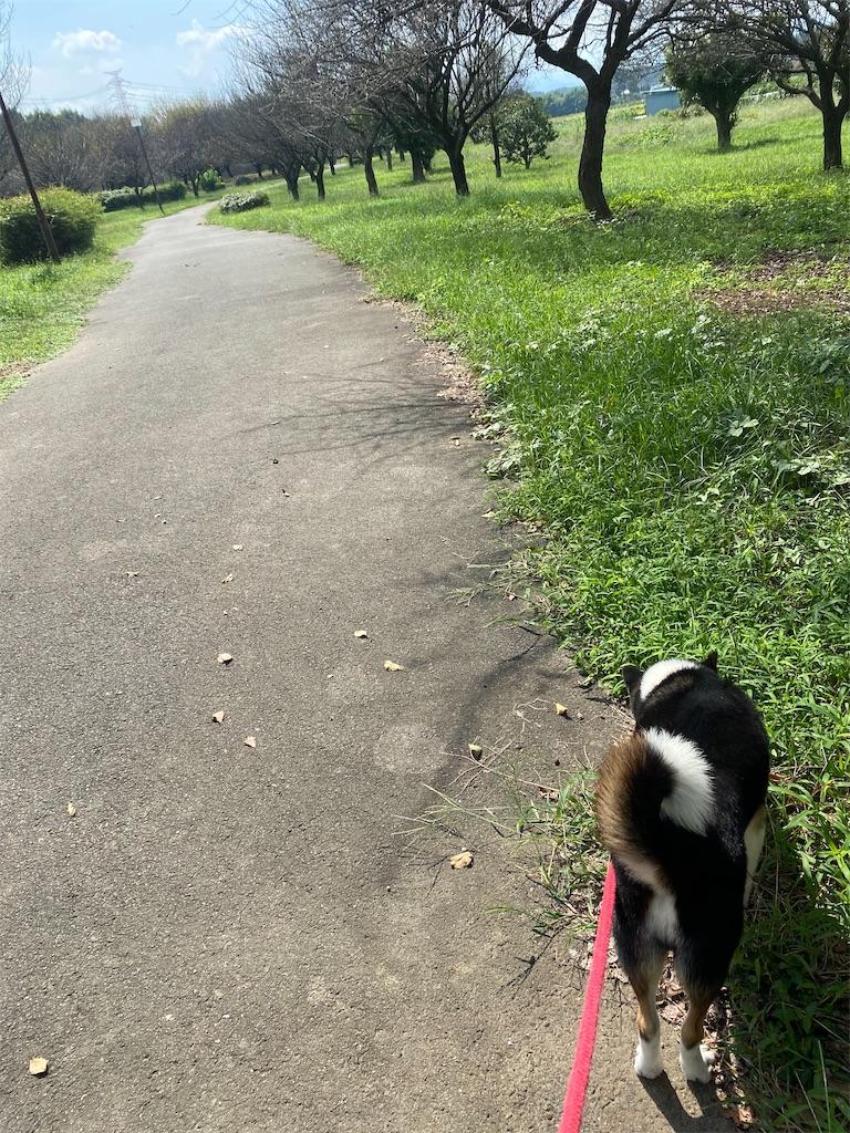 散歩道の端っこを歩く黒柴犬