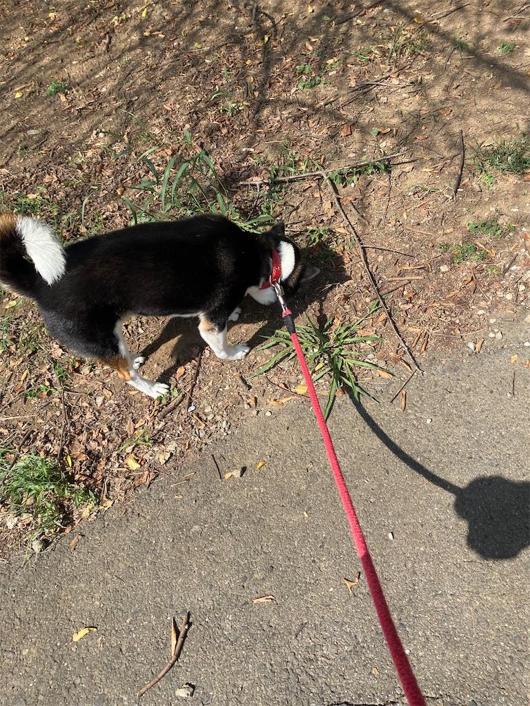 枯れ葉の上を歩く黒柴犬