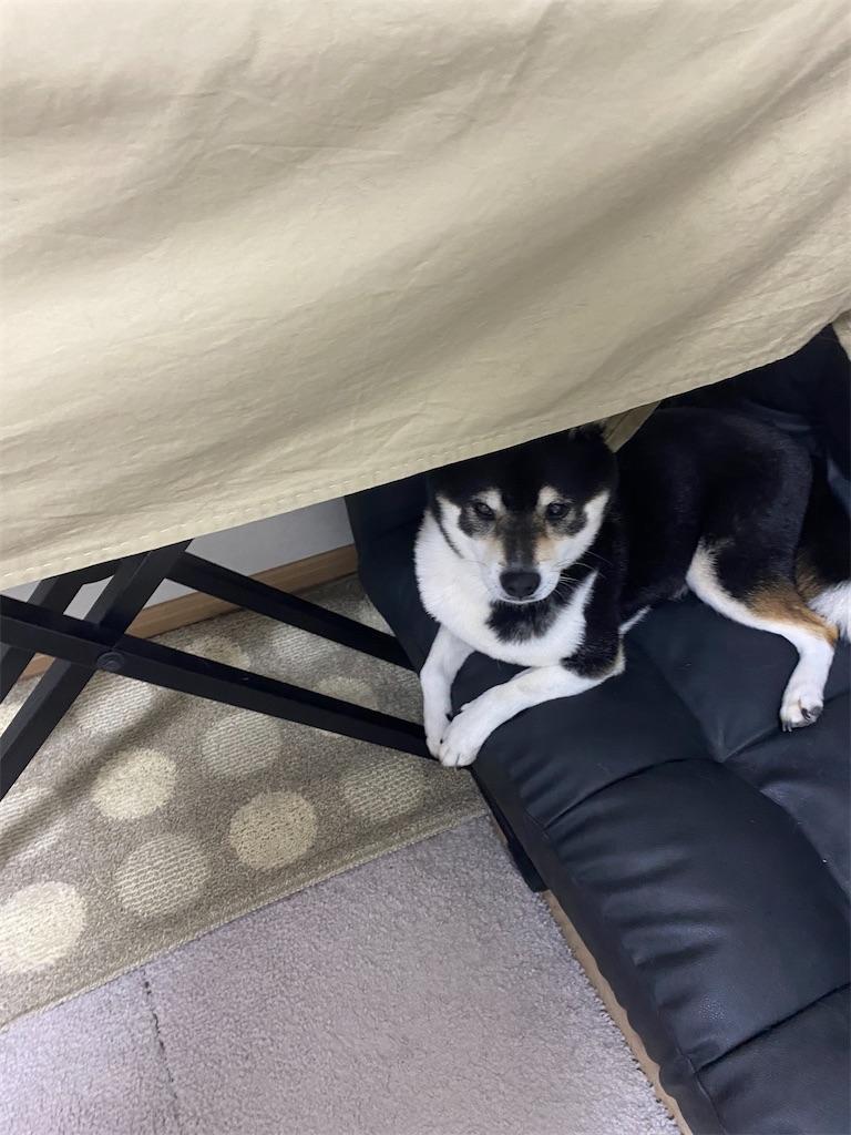 カーテンの下にもぐって隠れる黒柴犬