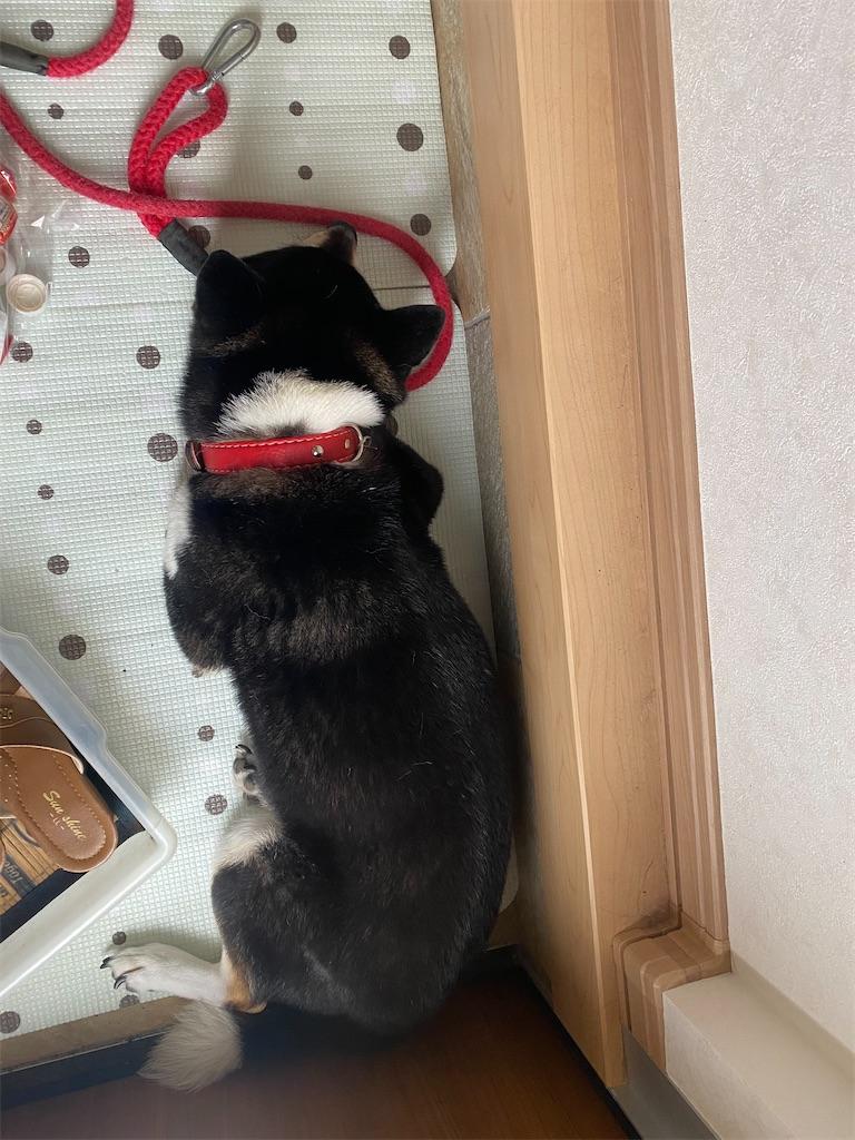 玄関で寝ている黒柴犬