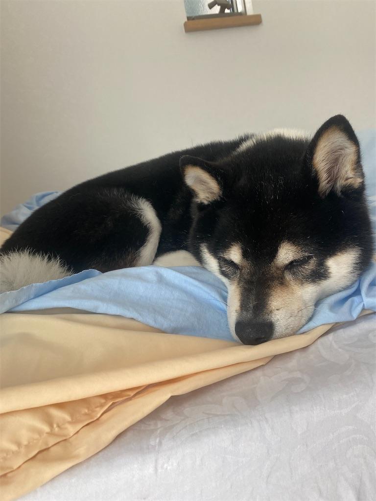 ベッドでお昼寝している黒柴犬