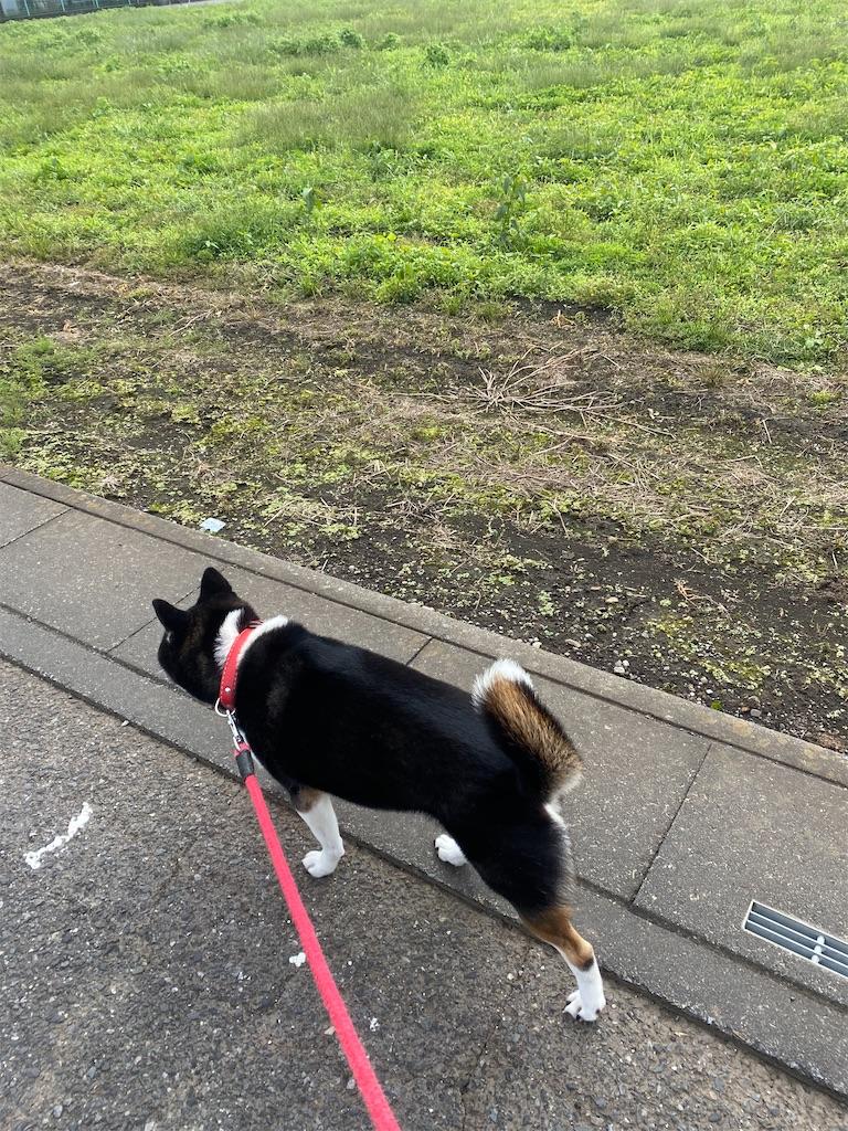 アスファルトの道でむこうに歩いて行く黒柴犬