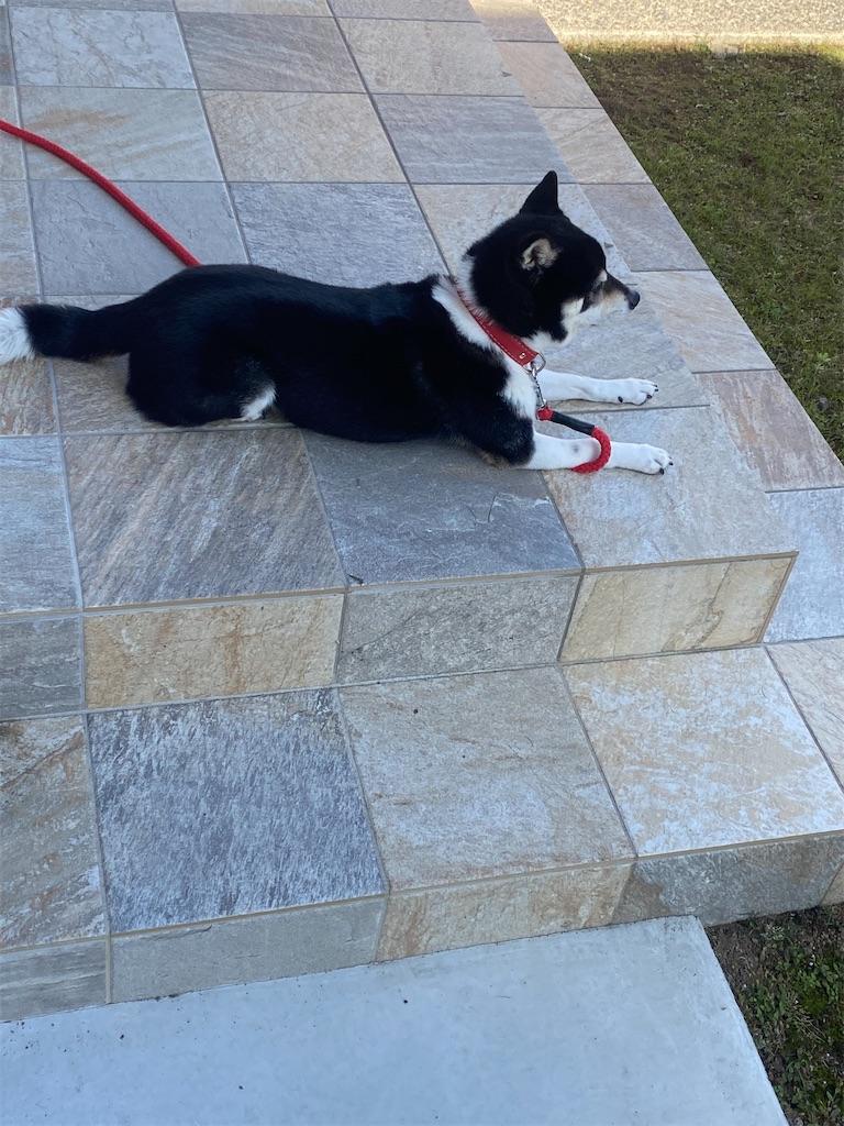 玄関先で伏せして近所を見ている黒柴犬