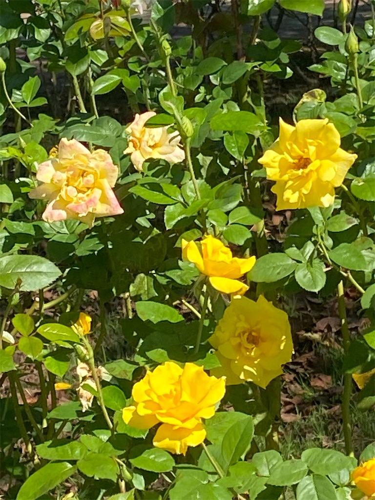 黄色いバラが咲いている