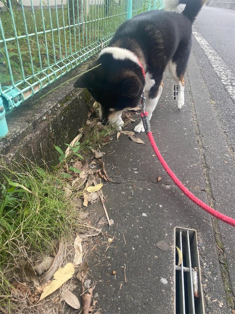 路肩で草の匂いを嗅いでいる黒柴犬