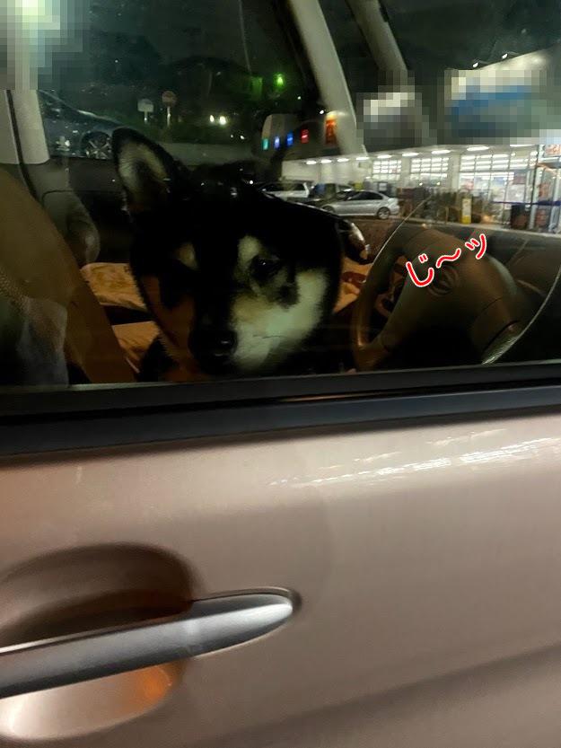夜の車の中から自分を見ている黒柴犬