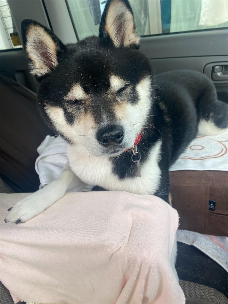 車の助手席で眠そうな黒柴犬