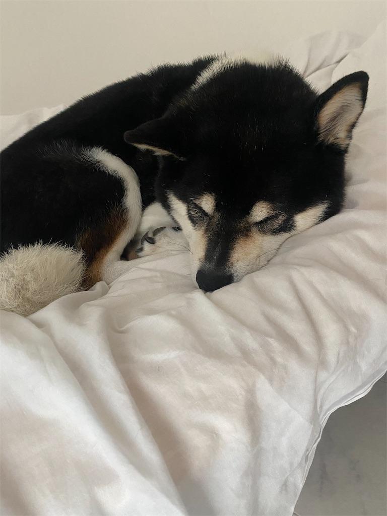 ベッドで眠っている黒柴犬