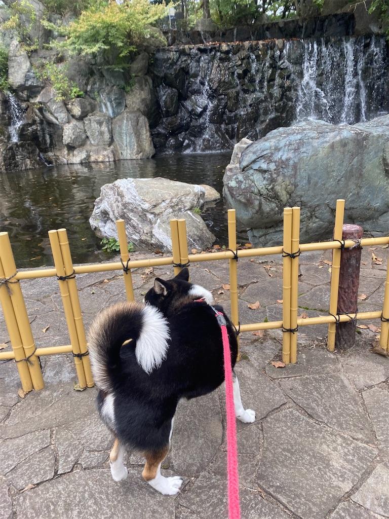 滝を見ている黒柴犬